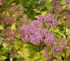 Spiraea Japonica Golden Carpet.jpg