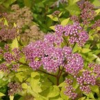 Spiraea Japonica Golden Carpet