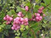 Symphoricarpos Doorenbosii Magic Berry (3).jpg