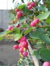 Symphoricarpos Doorenbosii Magic Berry.jpg