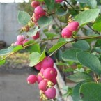 Symphoricarpos Doorenbosii Magic Berry