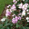 Symphoricarpos Doorenbosii Mother Of Pearl.jpg