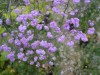 Thalictrum Delavayi Hewletts Double (4).jpg