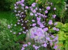 Thalictrum Delavayi Hewletts Double.jpg