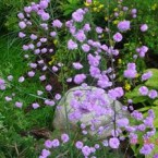 Thalictrum Delavayi Hewlett's Double