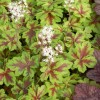 Tiarella Clow Feather (5).jpg