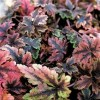Tiarella Clow Feather.jpg