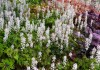 Tiarella Jeepers Creepers (2).jpg