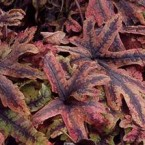 Tiarella Jeepers Creepers