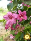 Weigela Florida Bristol Ruby.jpg