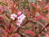 Weigela Florida Magical Rainbow (1).jpg