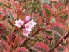 Weigela Florida Magical Rainbow.jpg