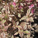 Weigela Florida Monet Verweig