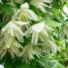 albina-plena.jpg